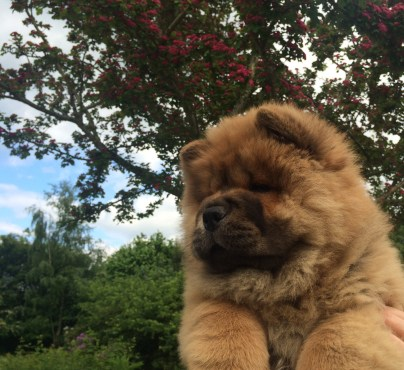 Piuk Chow Sweet Queen Of Paradise - 10weeks2