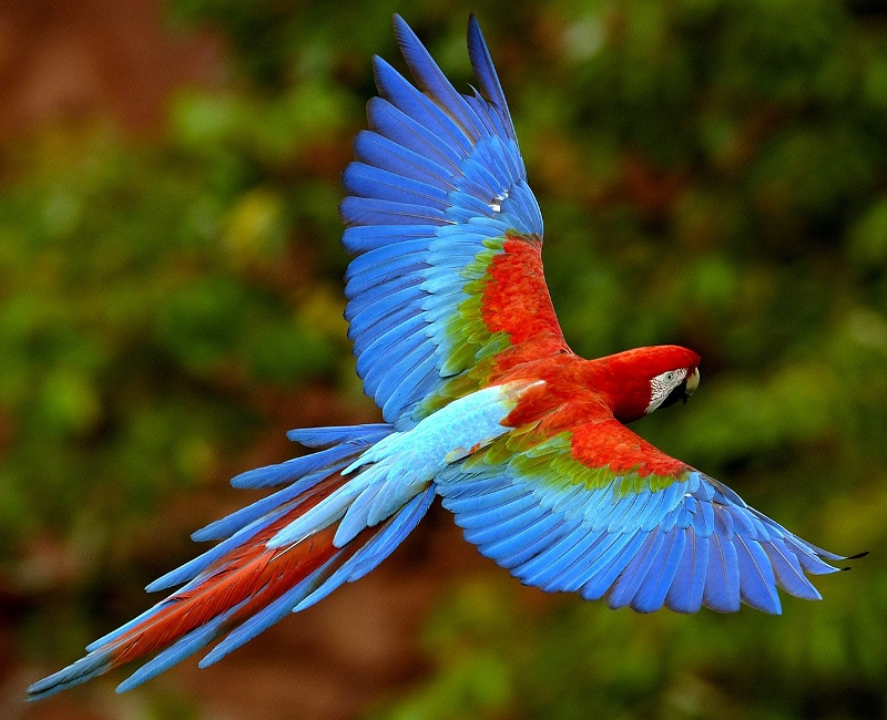 A Macaw flying