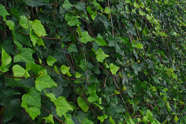 Ivy, Green Leaves, Plant, Nature, Foliage, Garden