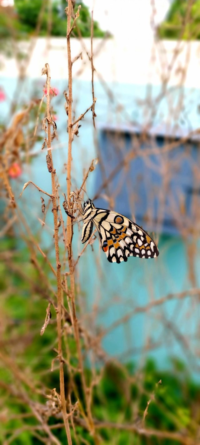 Butterfly on Dried Plant