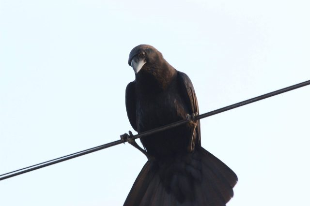 Crow sitting on a wire