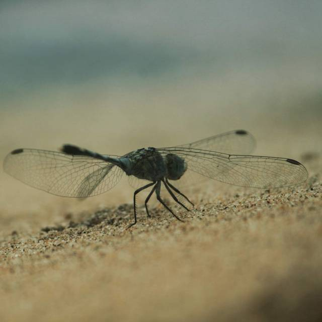 Dragonfly in the sand