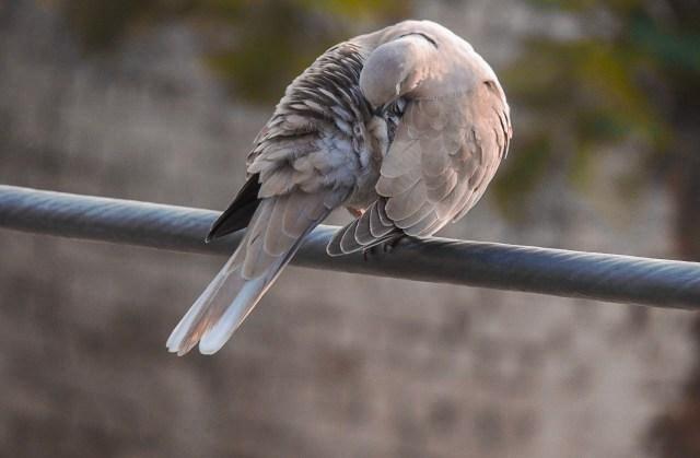 Pigeon on Focus