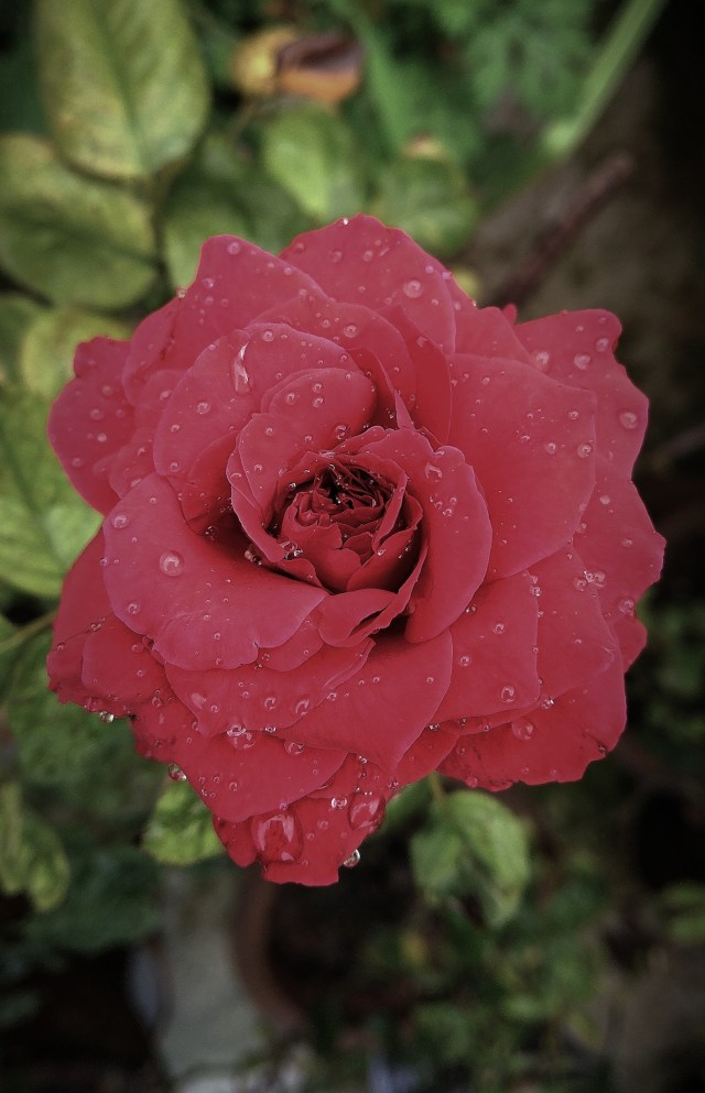 Rose Flower with Rain Droplets