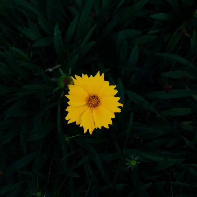 Single yellow flower with dark green leaves