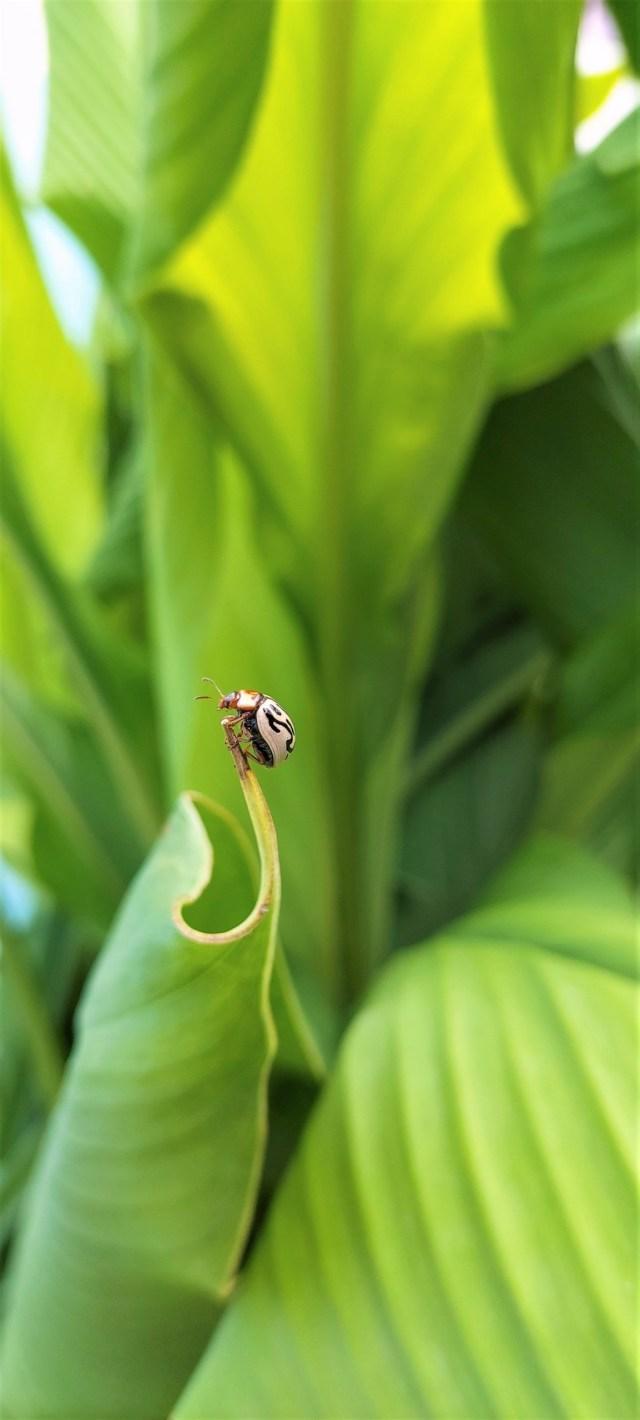 ladybird beetle insect