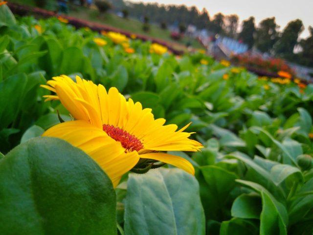A garden of sunflowers