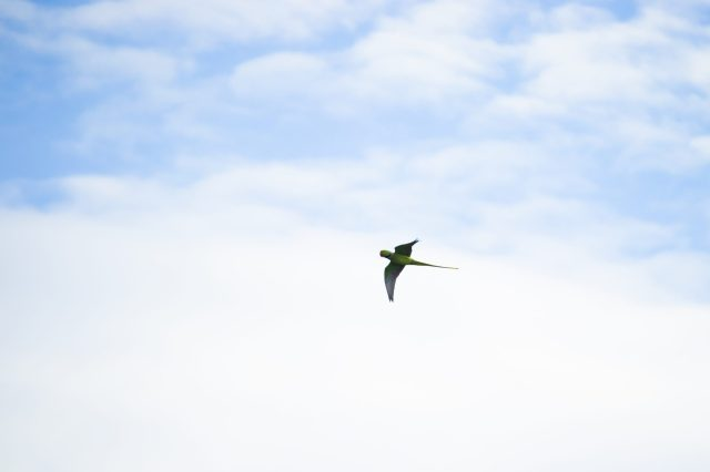 A parrot flying in the air