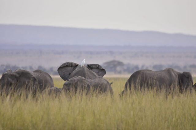Amboseli. Elephants