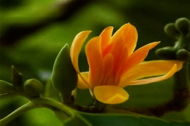 chafa flower