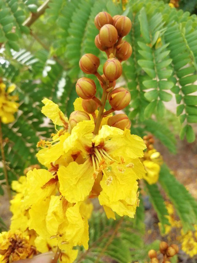 Caesalpinia Flower on Focus