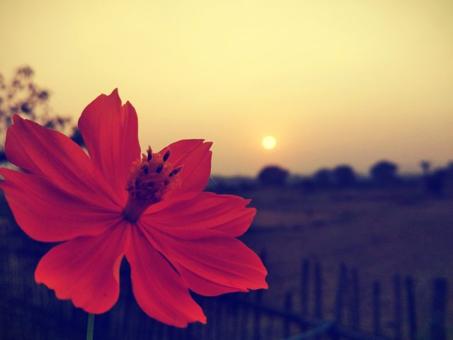 A beautiful flower during sunset