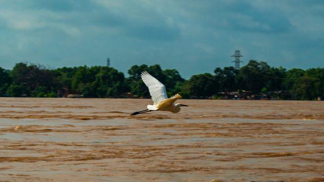 Great Egret on Flight