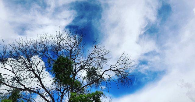 Crow sitting on the dry tree.