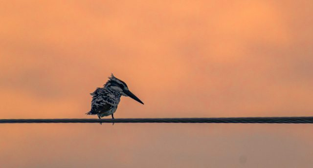 kingfisher sitting on electrical wire
