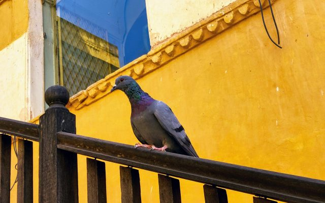 Pigeon on a wooden railing near Amer Fort