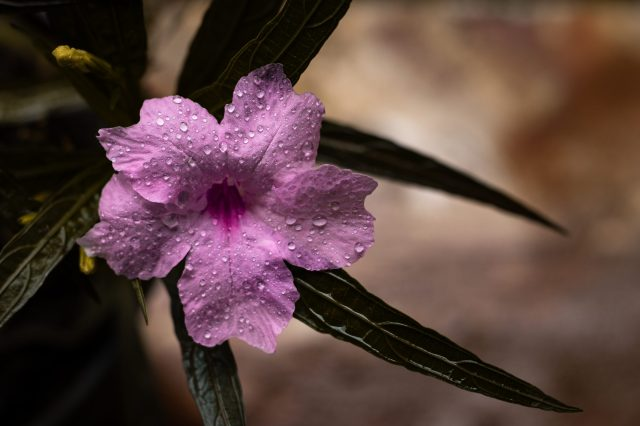 Ruellia flower with droplets