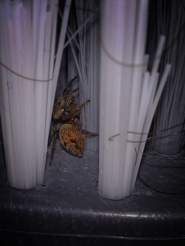 Spider in a Laundry Brush