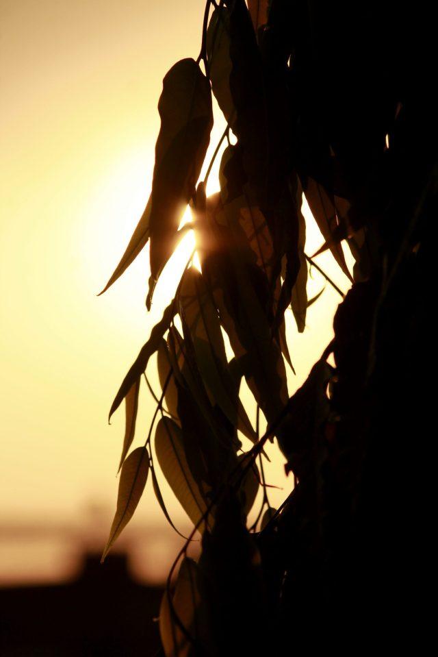 sun behind leaves