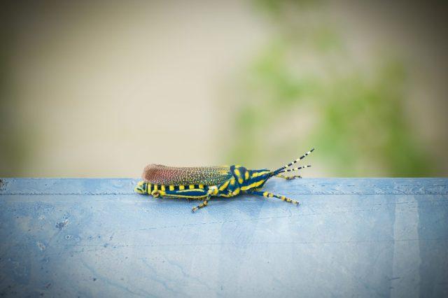 Blue striped grasshopper