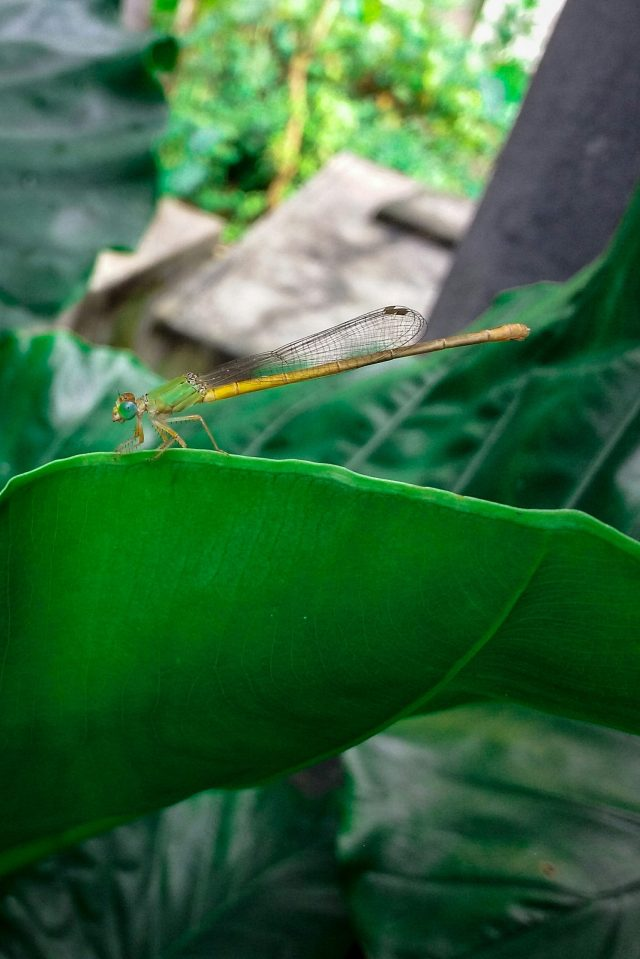 Damselflies (a spices of dragonfly)