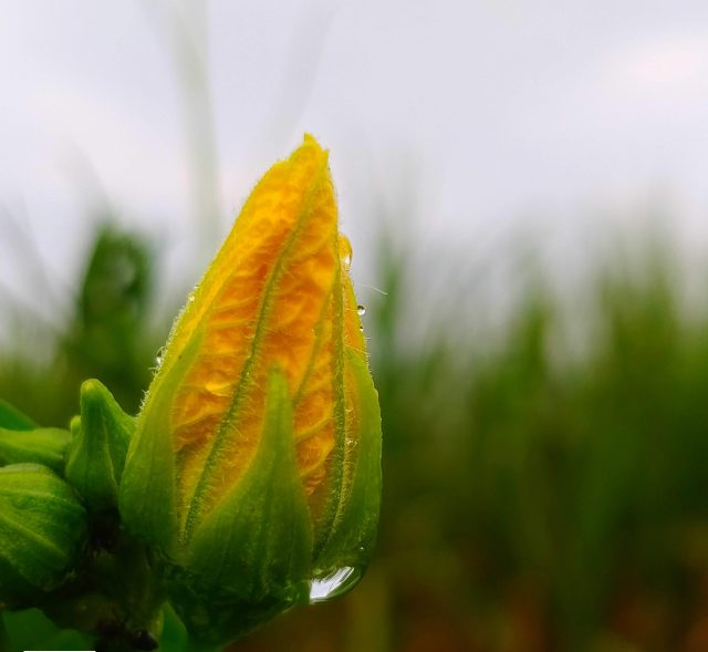Young Yellow Flower