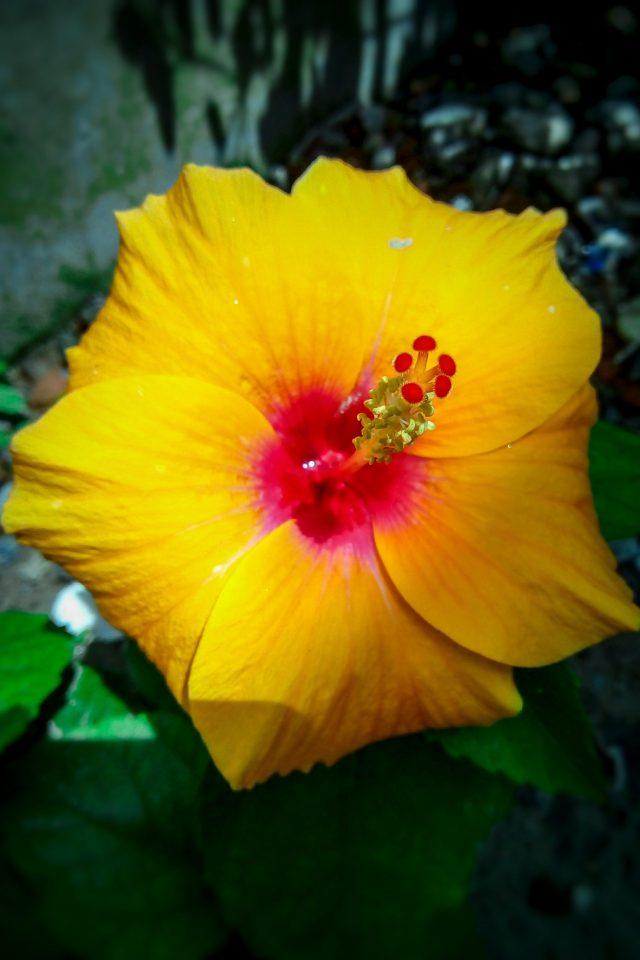 Yellow Hibiscus on Focus