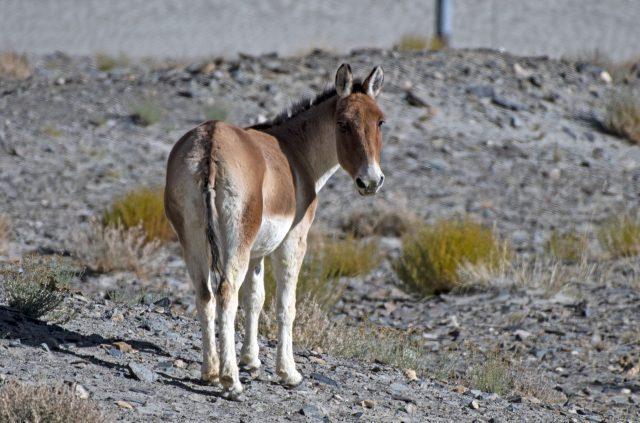 An Tibetan wild ass