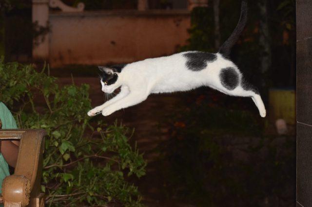 A cat jumping across