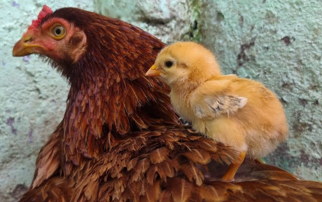 A hen with chick
