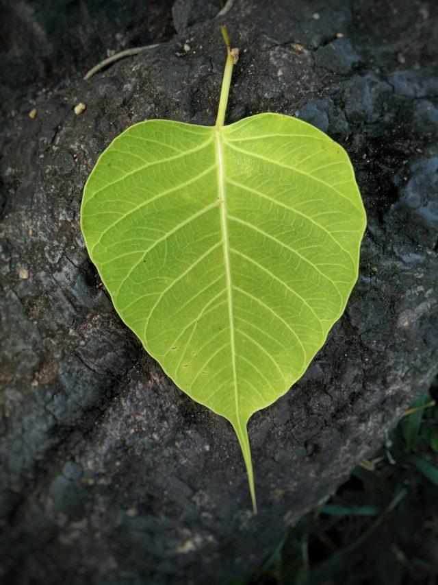 A leaf of sacred fig