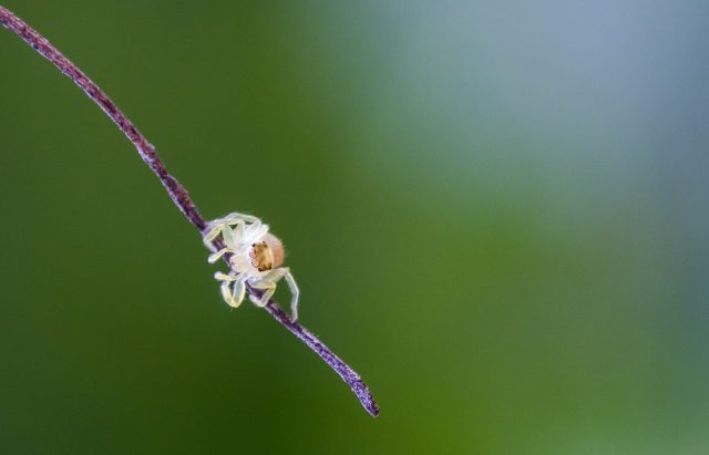A tiny jumping spider on a twig