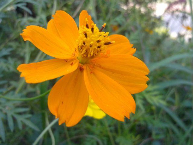 Blooming Yellow Daisy