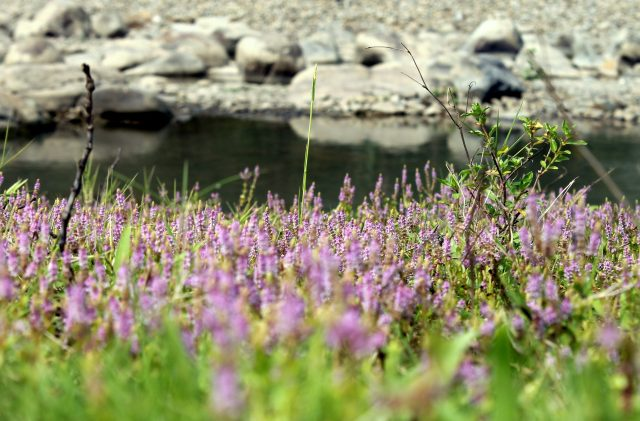 Flowers at a riverbank