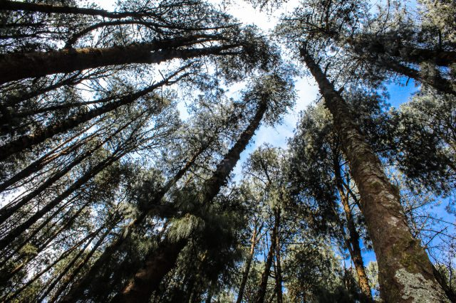 A Pine Tree Forest