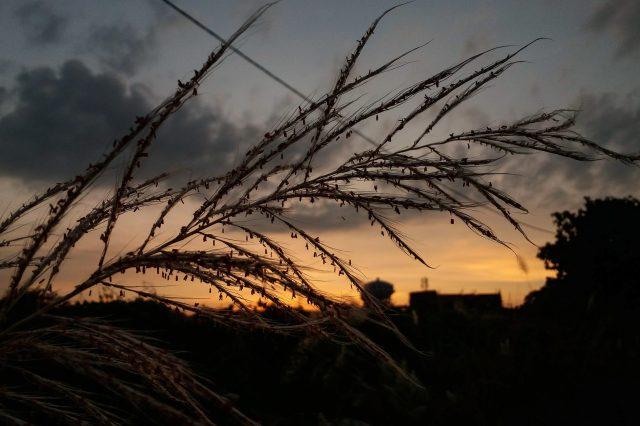 Sunset through grass plants