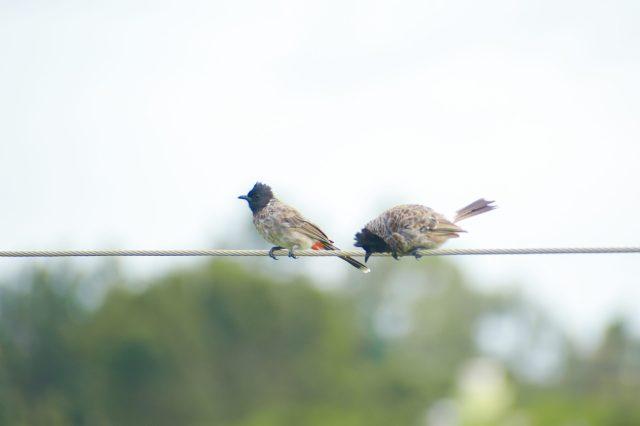pair of black headed birds