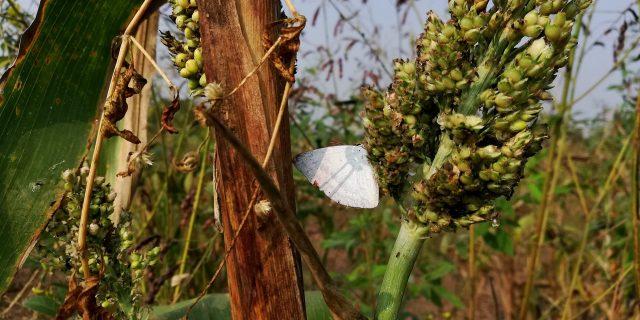 A butterfly on Jowar comb