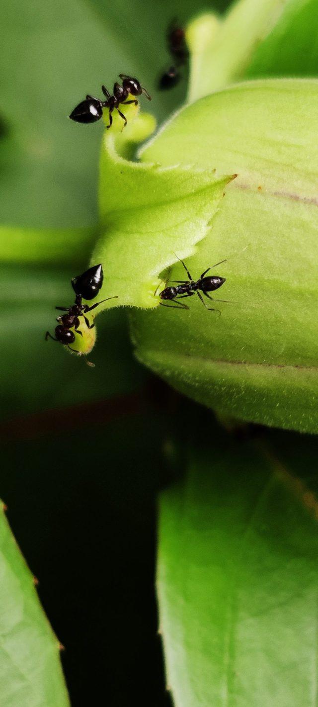 Crematogaster scutellaris on a leaf