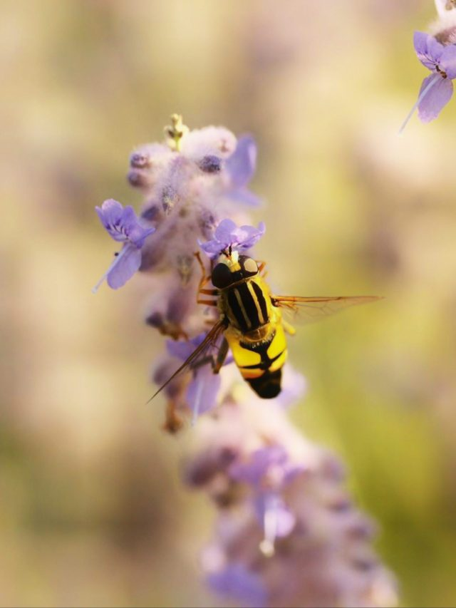 Honey Bee Close-up