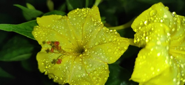 Mirabilis jalapa flowers