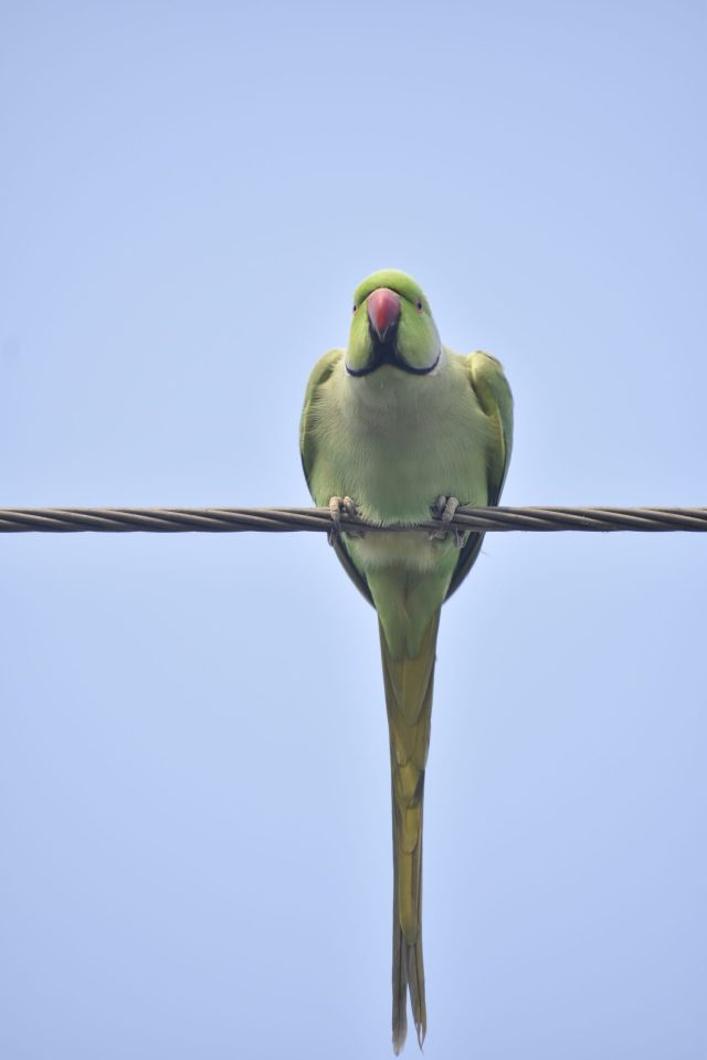 A parrot sitting on electric wire