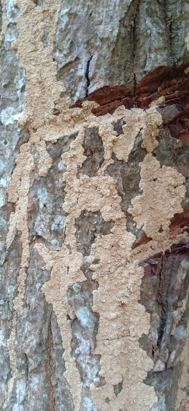 A tree damaged by termites