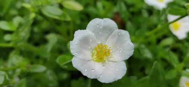 White Multiflora rose