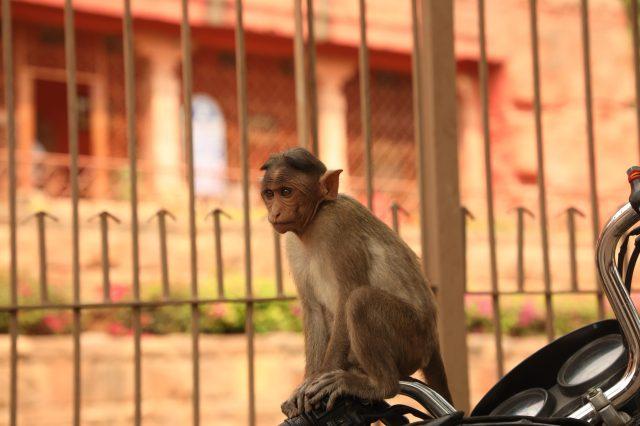 a sitting monkey