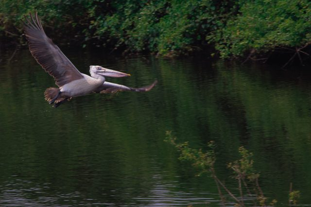 A pelican flying over a river