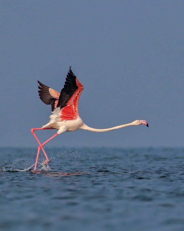 Greater Flamingo Close-up