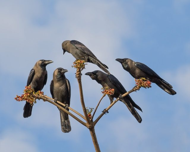Crows on tree