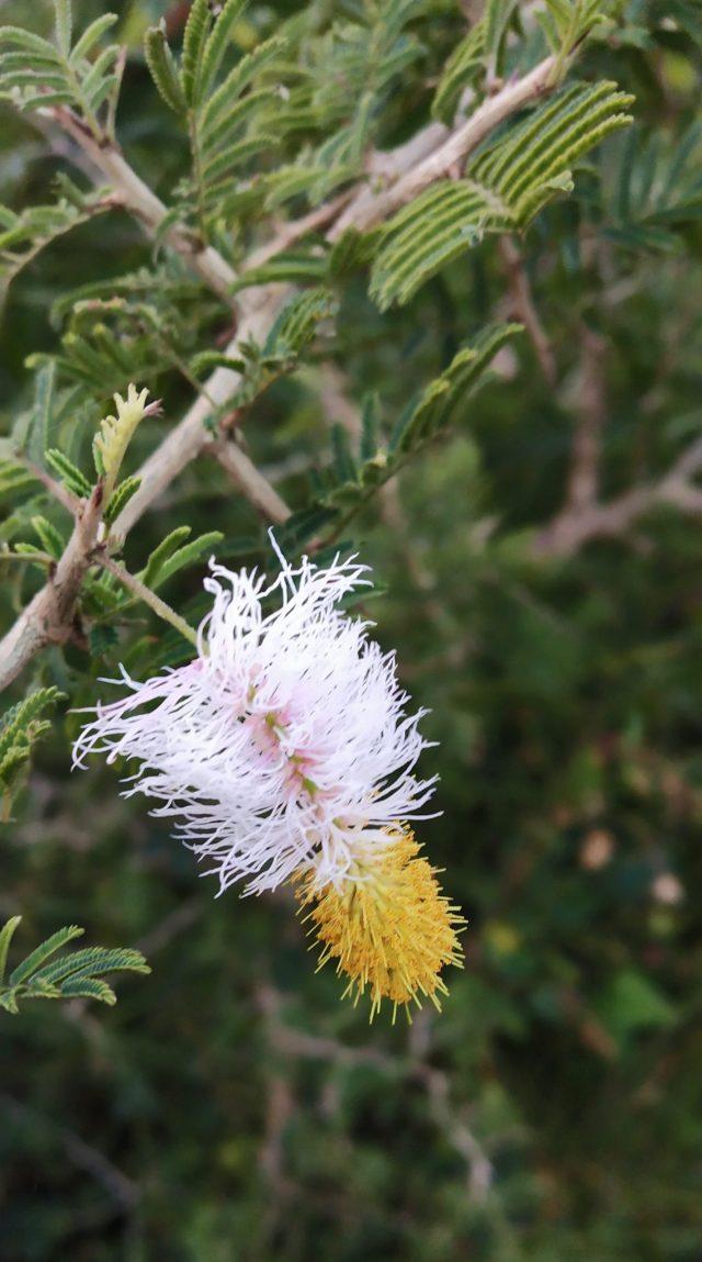 Prosopis cineraria Linn flower