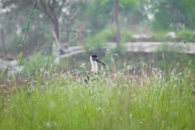 A wolly necked-stork